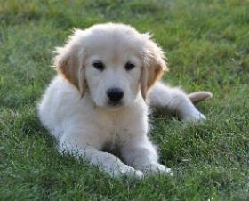 Golden Retriever Dogs For Sale Alberta